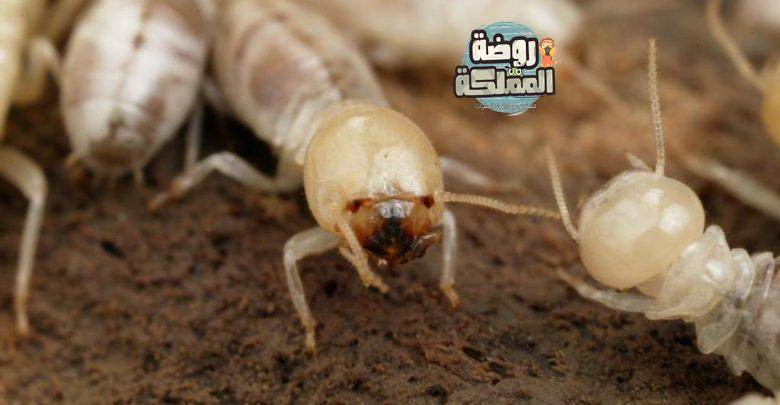 شركة مكافحة النمل الابيض بأحد رفيدة